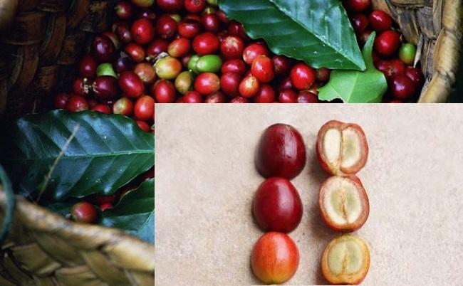 Cà phê nhân là gì? Đặc điểm của cà phê nhân