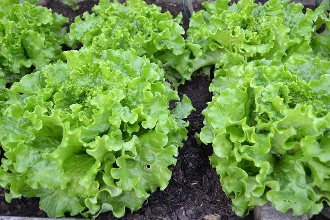 Các loại rau dễ trồng tại nhà
