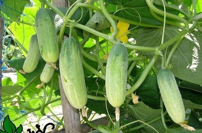 Các loại rau nên trồng vào mùa hè