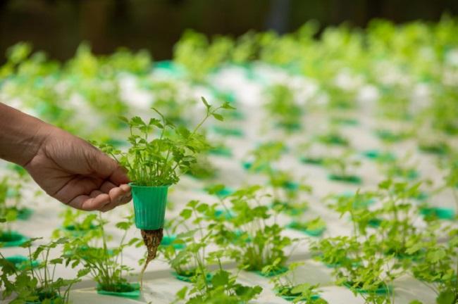 Cách trồng rau không cần đất